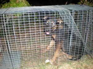DogPackShepMix_number_2