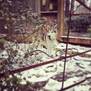Tasha in the snow #gypsydogops #tasha