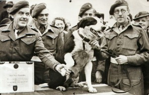 During World War II, the British Army trained dogs to jump out of airplanes with soldiers. This crossbred Collie, Rob, reportedly made 20 jumps and took part in the North African landing. Here, the paradog is presented with the Dickin Medal for animal gallantry in Feb. 1945. There is even a children's book about him: Rob the Paradog.