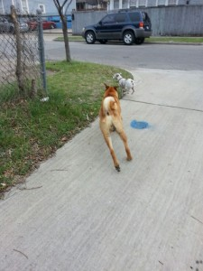 When DAS visited a neighbor and reported back to us that the dogs were in compliance - we sent back a picture of the dog running loose with an obvious set of family jewls. The owners were eventually convinced to neutered the dog.