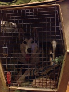 Here's our girl resting happily in her crate. Yes that is a screwdriver holding the door shut on our 1980 shipping crate. Don't judge. You saw what she did to the wire crate : )