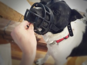 Pappi gets treats while wearing his muzzle